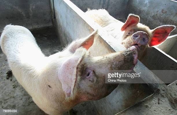 Two pigs are seen in a pig farm on January 17 2008 in the outskirts of Lishu County of Jilin Province northeast China Jilin Provincial government...