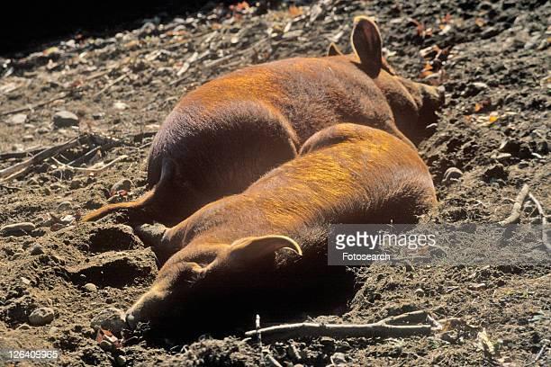 Two Pigs Sleeping