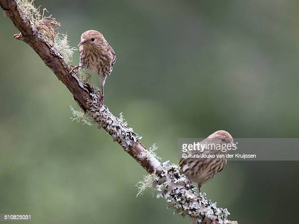 Two Pine Siskins, Carduelis pinus, Forest Knolls, California, USA