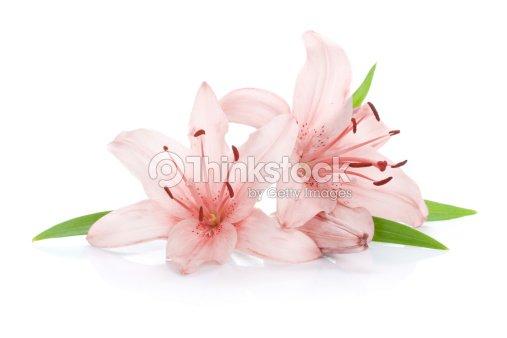 zwei rosa lilie blumen stock foto thinkstock. Black Bedroom Furniture Sets. Home Design Ideas