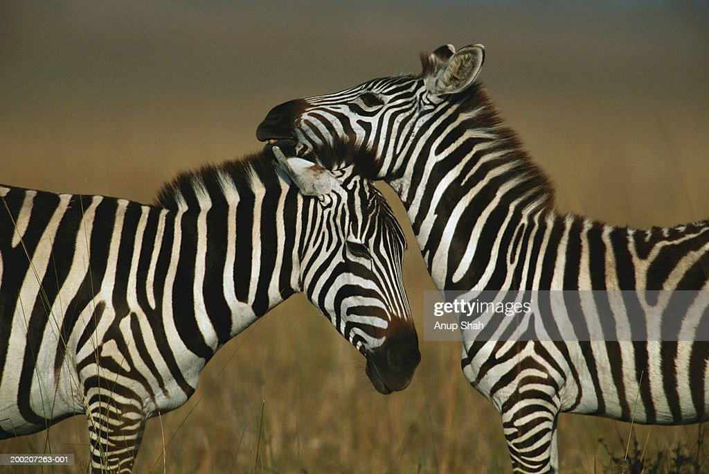 Two plains zebras (Equus burchelli) grooming, Masai Mara, Kenya
