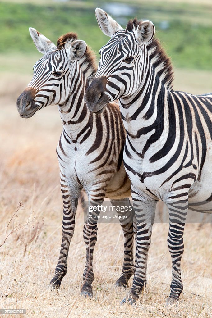 Two plains zebras standing together