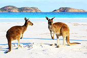 Two Playful Western Grey Kangaroos relaxing on Beach, Cape Le Grand National Park, Lucky Bay, Western Australia