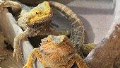 two Pogona Vitticeps with scaly skin. A reptile living in Australia in the desert wildlife.