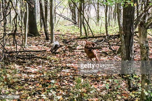 two pointers in the woods : Foto de stock