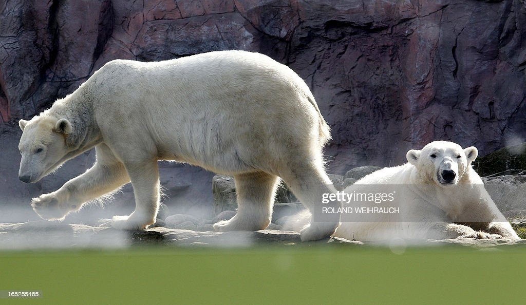 Two polar bears lie in the sun at the 'Zoom Erlebniswelt' animal park in Gelsenkirchen,western Germany, on April 2, 2013. The polar bear is classified as a vulnerable species.