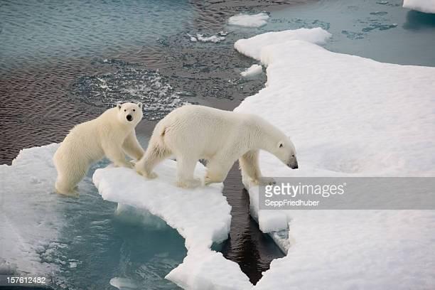 2 つの上にいる北極グマの小さな氷盤