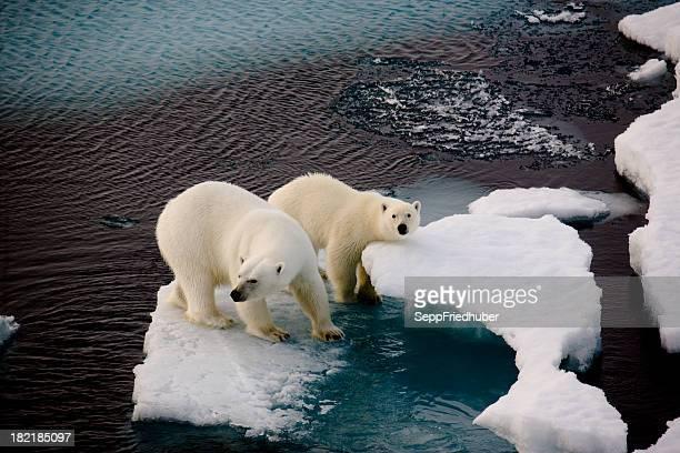 Dos osos polares en una pequeña banquisa flotante
