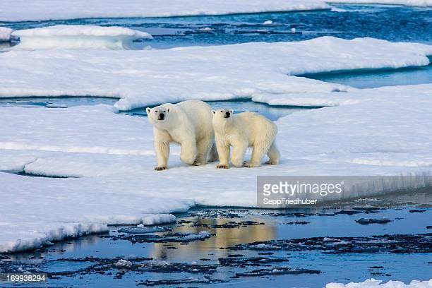 2 つの上にいる北極グマ氷盤水に囲まれています。