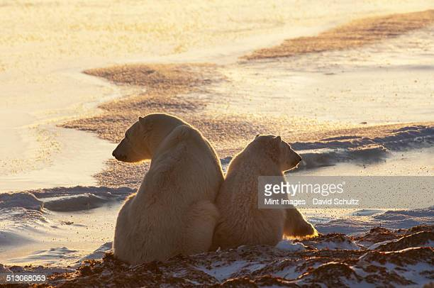 Two polar bears sitting side by side on a snowfield in Manitoba, at sunset.