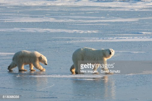 Two polar bears walking on a snowfield in Manitoba.