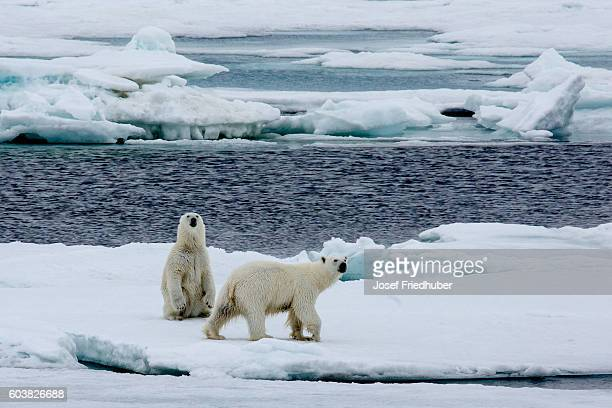 Two polar bears walking on pack ice.