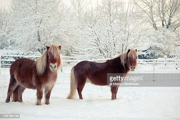 Two ponies in snow