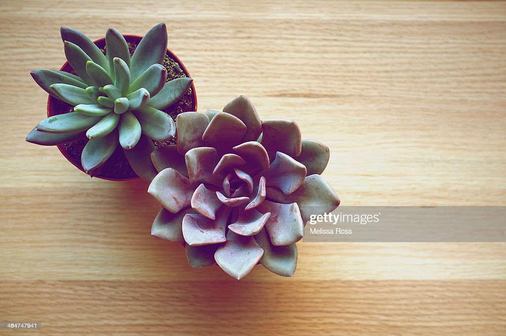 Two potted succulent plants viewed from above : Stock Photo