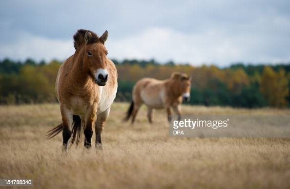 Two Przewalski horses graze in the Schorfheide nature reserve in Gross Schoenbeck eastern Germany on October 25 2012 The Przewalski horse is a rare...