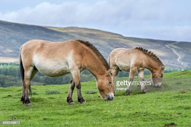 Two Przewalski horses native to the steppes of Mongolia central Asia grazing in grassland