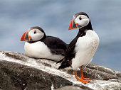 A pair of Puffins (Fratercula arctica) with sand eels on the Farne Islands in Northumberland, England