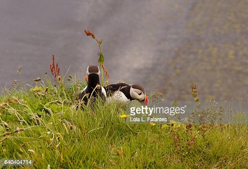 Two puffins : Foto de stock