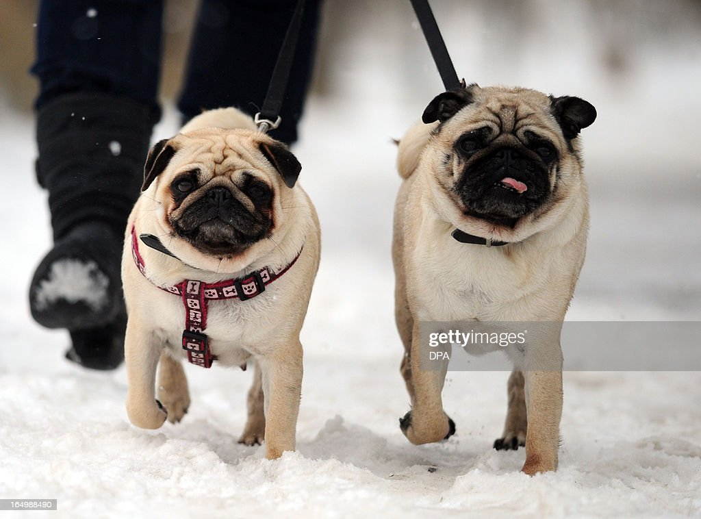 Two pug dogs are walked in the snow in Travemuende, northern Germany, on March 29, 2013. Meteorologists forecast temperatures around freezing pont for the coming week in Germany. AFP PHOTO / Ole Spata GERMANY OUT