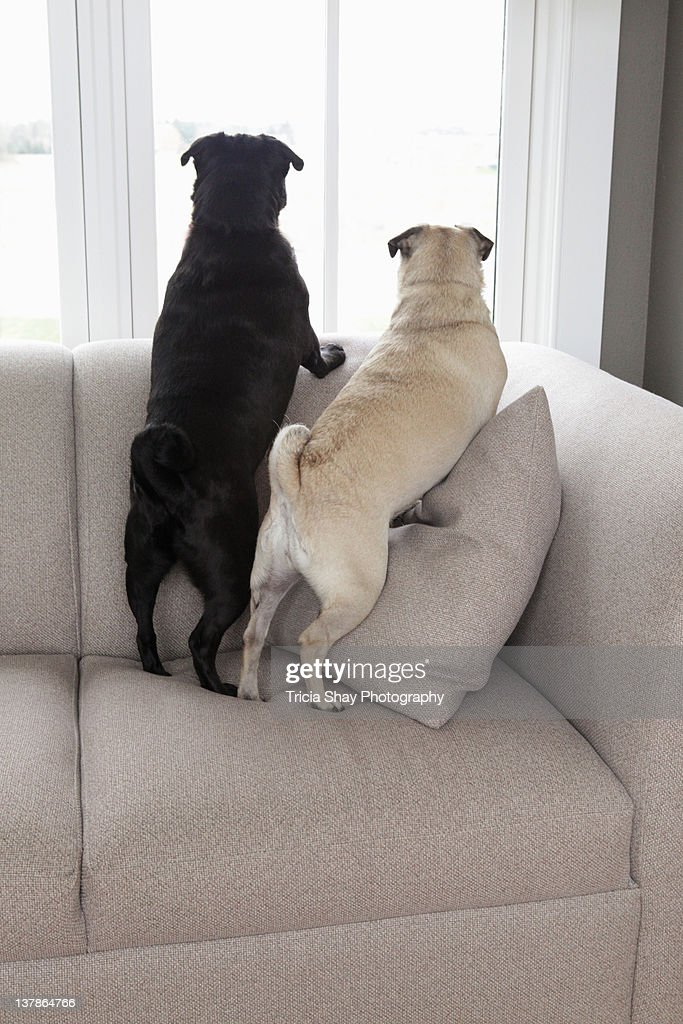 Two pug dogs lookin out window from couch : Stock Photo