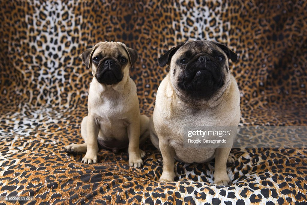 Two Pug dogs sitting against animal print background : Stock Photo
