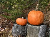 Two pumpkins in the Forrest
