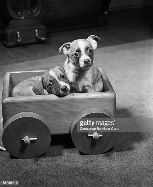 Two puppies in wooden wagon