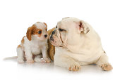 two puppies - cavalier king charles spaniel and english bulldog puppy together