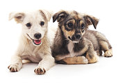 Two puppies isolated on a white background.