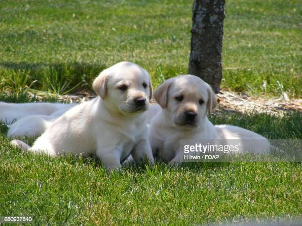 Two puppies resting on grassy field