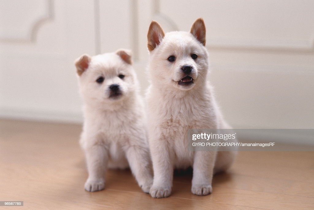 Two puppies sitting together : Stock Photo