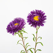 Two purple flowers asters isolated on a white background, close up