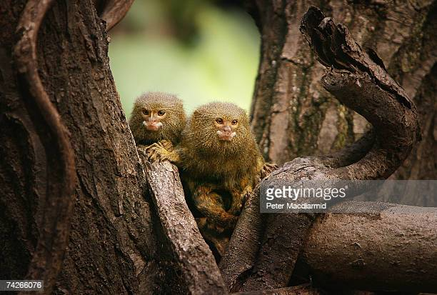 Two Pygmy Marmosets sit in a tree at London Zoo's new exhibit 'The Clore Rainforest Lookout' on May 24 2007 in London England The new 21 million...