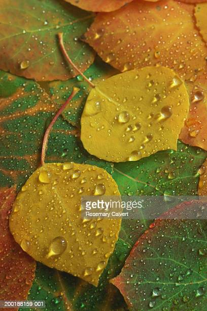 Two Quaking aspen tree (Populus tremuloides) leaves and autumn leaves