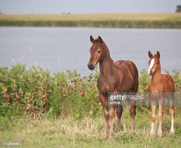 Dois cavalos de origem materna os poldros quarto
