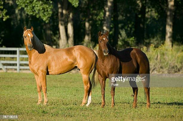 Two Quarter Horses Together in the Pasture