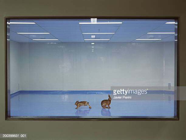 Two rabbits in empty room, view through window