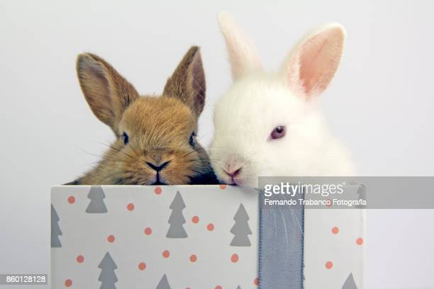 Two rabbits inside a gift box