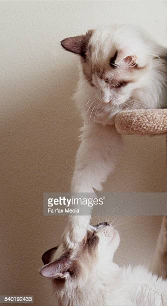 Two ragdoll cats playing