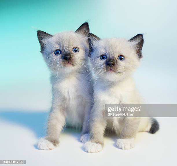 Two ragdoll kittens on blue graduated background