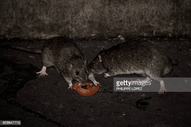 Two rats eat a slice of tomato at the square of the Saint Jacques tower close to the rue de Rivoli in Paris on December 15 2016 The City of Paris has...