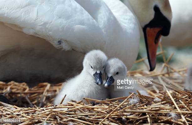 Two recently hatched cygnets sit with their mother in a nest at Abbotsbury Swannery on May 23 2013 near Weymouth England This year the arrival of the...
