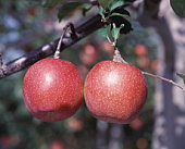 Two red apples growing on a branch, Hirosaki, Aomori Prefecture, Japan