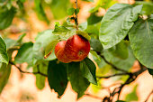 Two small red ripe apples on a branch