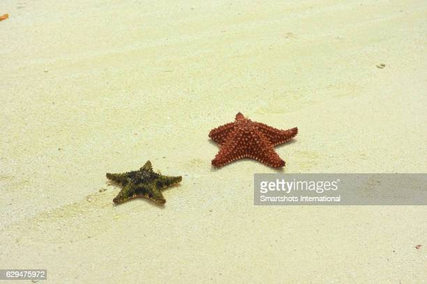 Two red cushion sea stars (Oreaster reticulatus) stranded on white sand beach in Cayo Santa Maria, Cuba