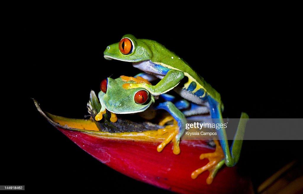 two-red-eyed-tree-frogs-picture-id144918462?k=6&m=144918462&s=170667a&w=0&h=O-KQltDcl9jTJi4j_MZjF7IoCgnutSoy