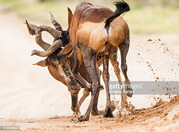 Two Red Hartebeest fighting, South Africa
