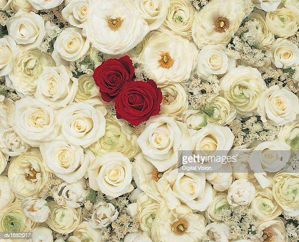 Two Red Roses in a Large Group of White Roses, Viewed From Directly Above