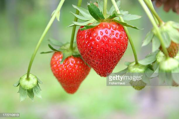 Two ripe red strawberries on the vine