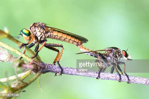 Two robberflies' mating
